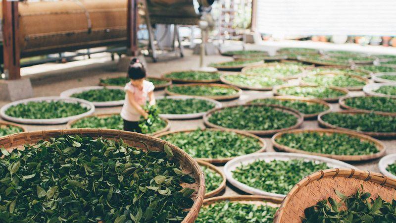 Trà móc câu Thái Nguyên